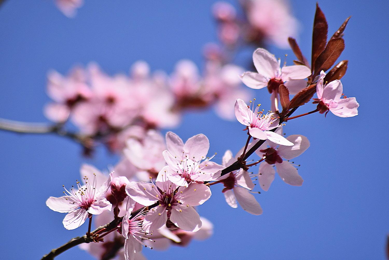Gałąź drzewa w różowych kwiatach